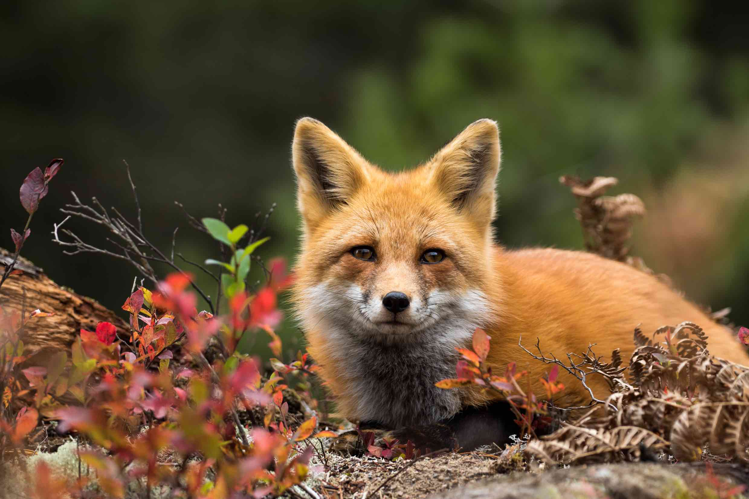 Image of a red fox in a forest looking at the camera